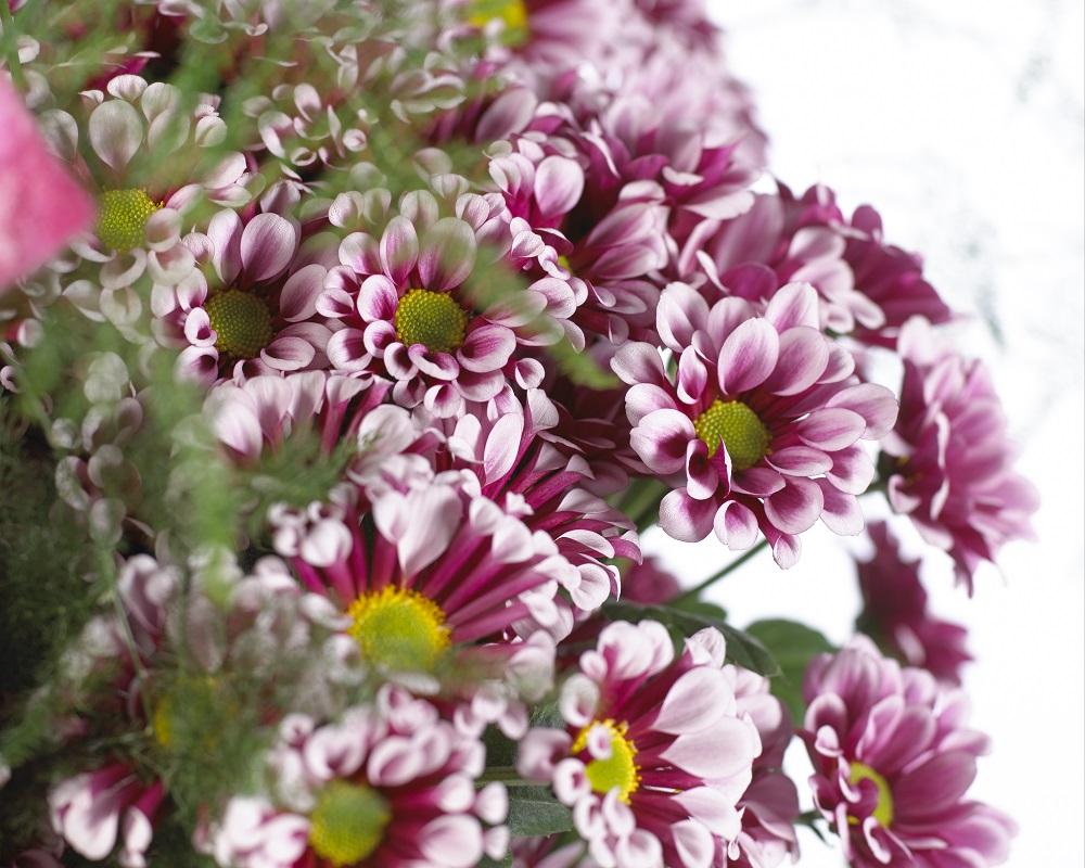 Фото кустовых хризантем