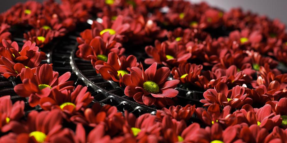 хризантемы зимой купить хризантему