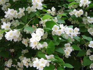 цветения жасмина