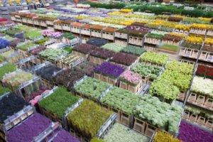 голландских цветов