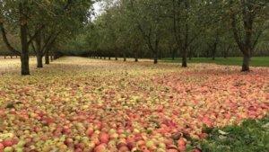 яблочный ковер
