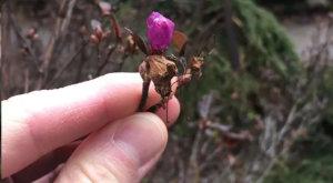 рододендрон Ледебура