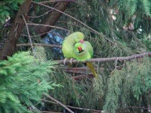 одичавшие попугаи