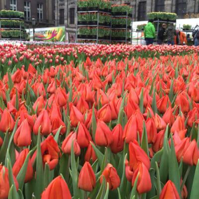 День Тюльпана