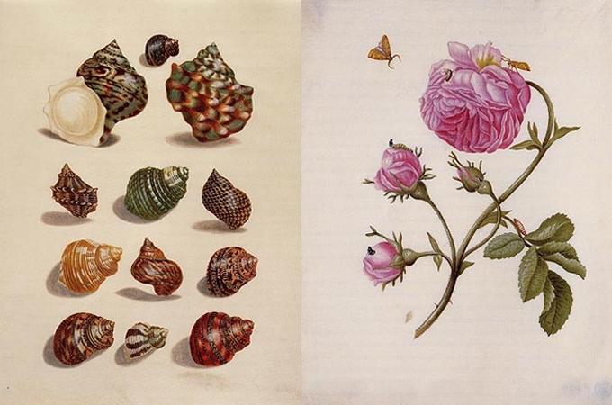 цветы госможи Мериан